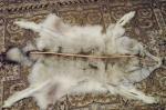 Продаётся шкура полярного волка