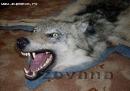 Волк- чучело зверя из охотничьих трофеев