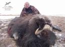 охотничьи трофеи,чучела животных-овцебык