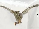 таксодермия - чучело летящей совы