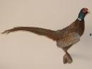 цветной фазан - чучело, таксодермия